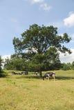 Troupeau de vaches laitières dans le pré Image libre de droits