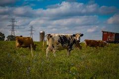 Troupeau de vaches laitières du comté de Lancaster dans Psture photos stock