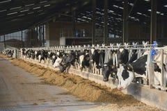 Troupeau de vaches laitières du Holstein Photographie stock