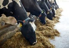 Troupeau de vaches mangeant le foin dans l'étable à l'exploitation laitière Photo stock