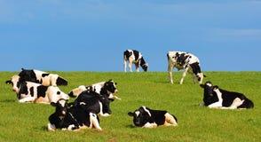 Troupeau de vaches noires et blanches contre le ciel bleu Photo stock