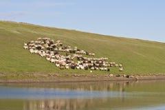 Troupeau de vaches sur le flanc de coteau Images stock