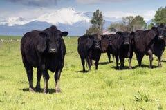 Troupeau de vaches sur le pâturage Image stock