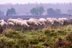 Troupeau de Veluwe Heath Sheep sur le heide d'Ermelosche images libres de droits