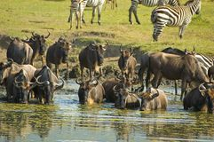 Troupeau de Wildebeest image stock