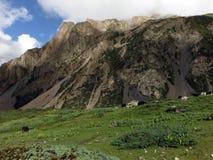 Troupeau de yaks avant une montagne nuageuse Images libres de droits