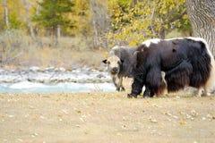 Troupeau de yaks frôlant dans le pré Image libre de droits