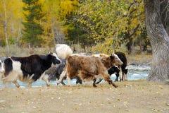 Troupeau de yaks frôlant dans le pré Photographie stock