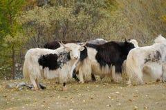 Troupeau de yaks frôlant dans le pré Photo libre de droits