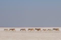 Troupeau de zèbre du ` s de Burchell dans une casserole de sel, nationalpark d'etosha, Namibie Photos libres de droits