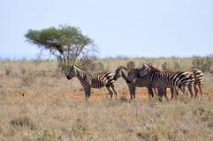 Troupeau de zèbres en Afrique Images stock