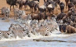 Troupeau de zèbres (Equids africain) Photographie stock libre de droits