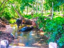 Troupeau des éléphants dans l'entourage naturel dans Sri Lanka près de Pinnawella Photo stock