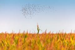 Troupeau des étourneaux au-dessus d'un champ de maïs Images stock