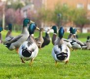 Troupeau des canards Photo stock