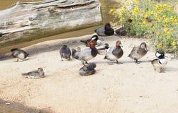 Troupeau des canards photographie stock libre de droits