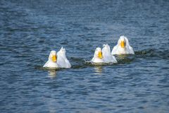 Troupeau des canards blancs de Pekin nageant à travers un lac photos stock