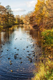 Troupeau des canards dans l'eau Photographie stock