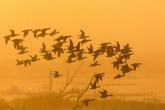 Troupeau des canards dans le sunrice Photographie stock libre de droits