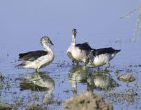 Troupeau des canards de peigne Photo libre de droits
