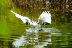 Troupeau des canards domestiques nageant dans les mares Images libres de droits