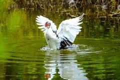 Troupeau des canards domestiques nageant dans les mares Images stock