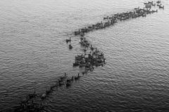 Troupeau des canards nageant pendant le coucher du soleil Photographie stock