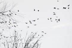 Troupeau des canards silhouettés sur un fond blanc Photo libre de droits
