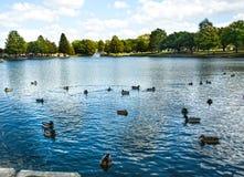 Troupeau des canards sur un lac de ville de point de repère Image stock