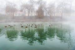 Troupeau des canards sur une rivière brumeuse Photographie stock libre de droits