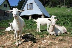 Troupeau des chèvres de bonne d'enfants Photographie stock