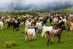 Troupeau des chèvres de montagne marchant en collines au Cachemire photographie stock