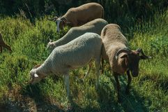 Troupeau des chèvres frôlant sur le sward vert avec des buissons photographie stock