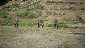 Troupeau des chèvres mountian banque de vidéos
