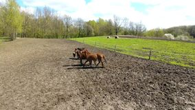 Troupeau des chevaux sur le pré au printemps banque de vidéos
