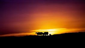 Troupeau des cucoloris de chèvres sous le coucher du soleil Photos stock