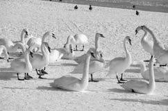 Troupeau des cygnes muets blancs dans la plage couverte par image d'hiver de nature de neige Images libres de droits