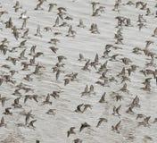 Troupeau des Dunlins au-dessus des mudflats images stock