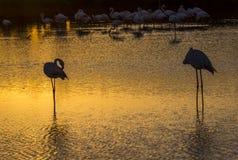 Troupeau des flamants au coucher du soleil dans le Camargue, France Photo libre de droits