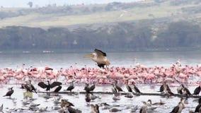Troupeau des flamants au lac Nakuru banque de vidéos