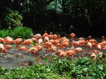 Troupeau des flamants roses photo stock