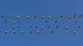 Troupeau des hirondelles sur des lignes électriques (allongement de 16:9) Photographie stock libre de droits