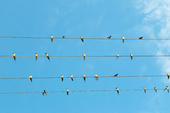 Troupeau des hirondelles sur le ciel bleu Photographie stock libre de droits