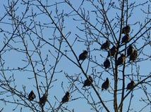 Troupeau des jaseurs se reposant sur les arbres Oiseaux et silhouettes de branches sur le fond bleu Images stock