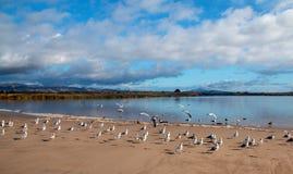 Troupeau des mouettes [Laridae] en vol à la préservation de la nature d'estuaire de marais de parc d'état de McGrath - la rivière photo stock