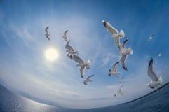 Troupeau des mouettes volant au-dessus de la mer avec un fond de ciel bleu, déformation de fisheye image stock