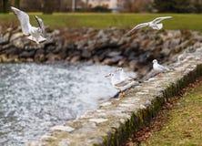 Troupeau des mouettes volant sur un rivage Images stock