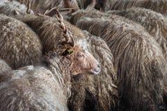 Troupeau des moutons à la ferme Image libre de droits
