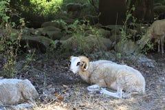 Troupeau des moutons à la nuance d'un arbre (une coupure de la chaleur) Image libre de droits