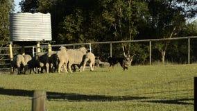 Troupeau des moutons également connus sous le nom de troupeau clips vidéos